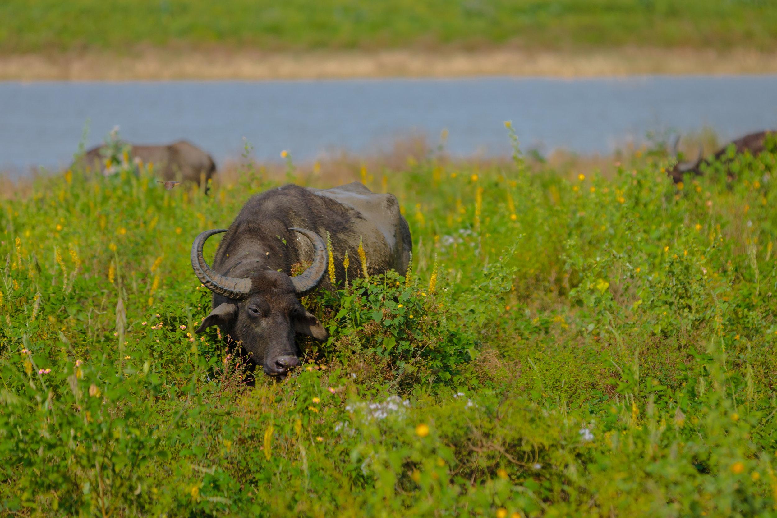 Water buffalo on land.