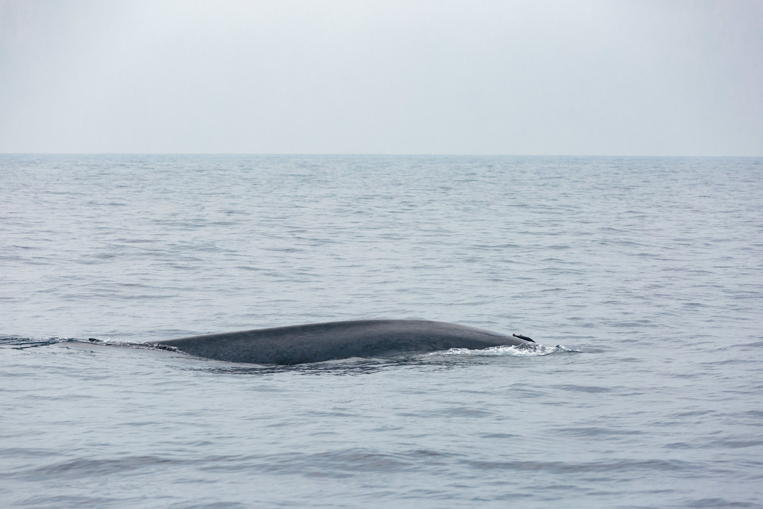 When the whale first surfaced - I think it has a fish on it's back!