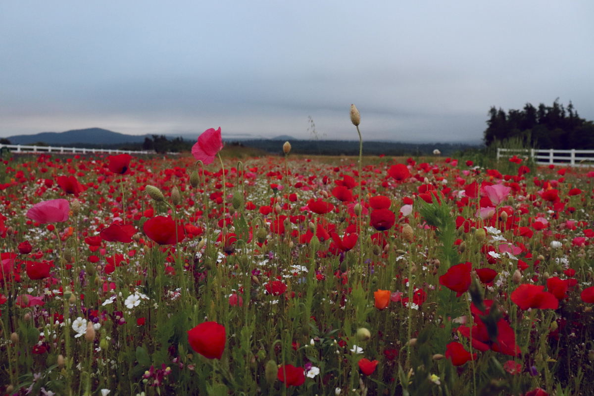 Poppy fields Lavender farms Sequim Washington Olympic Peninsula Beautiful Blogs to Read.