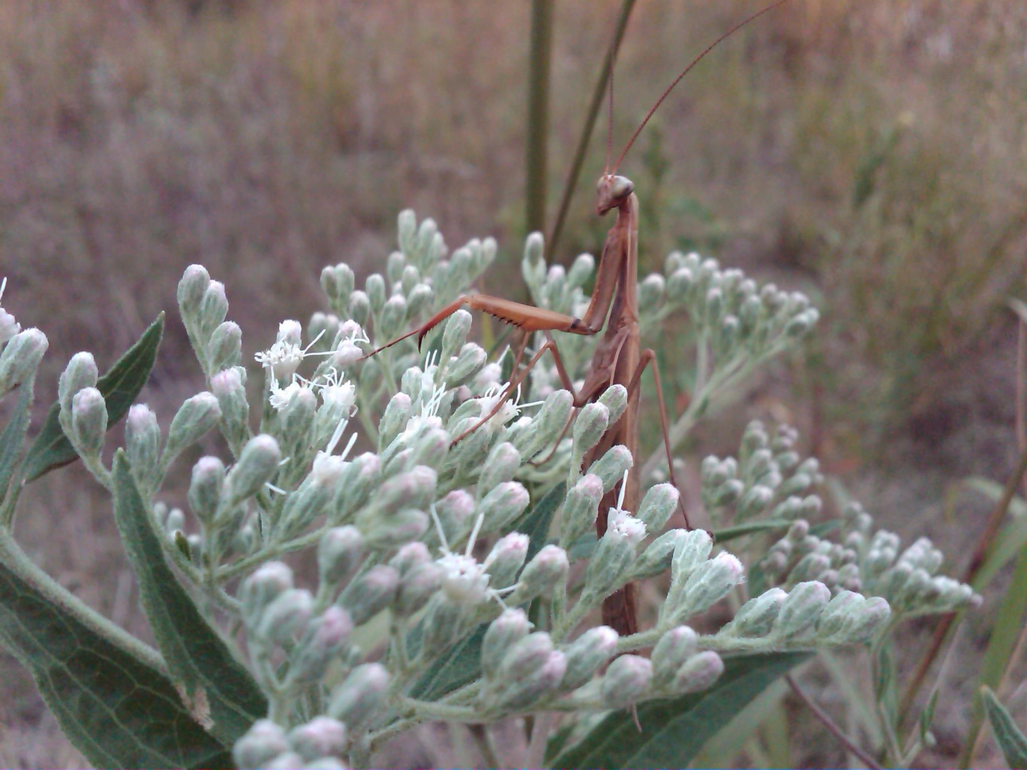Praying mantis on HAST 2011.JPG