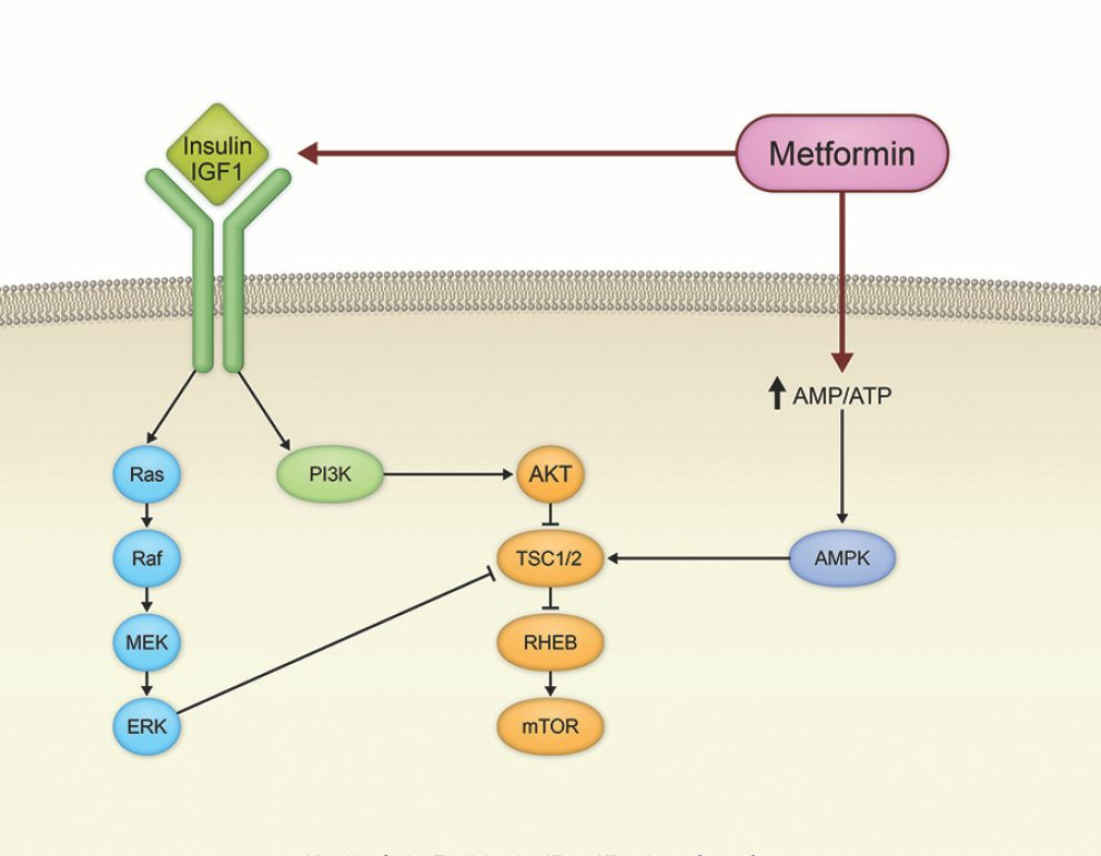 Metformin affects cell signaling pathways directly or indirectly at multiple points. For this reason, the drug may be useful against numerous cancer types.