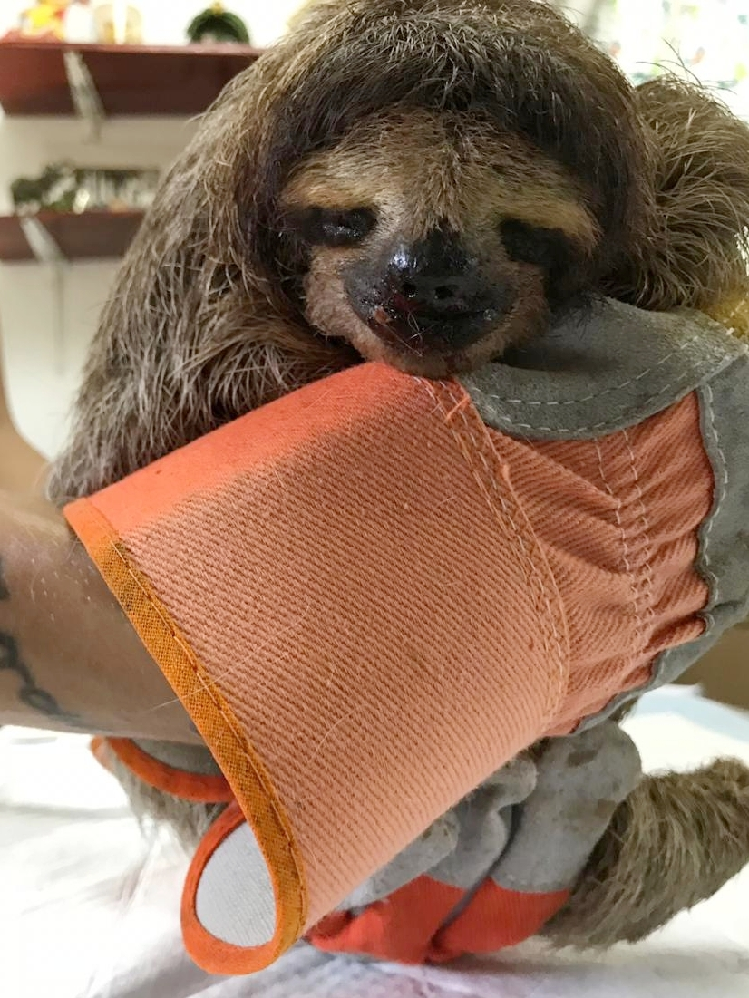 injuredsloth4.jpeg