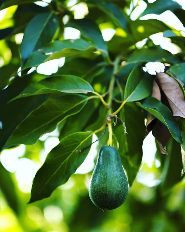 It's happening! 😍😍😍 . . .  #homegrown #food #avocado #instafood #foodphotography #foodstagram #beautifulfood #yummy  #delicious #instagood #farmersmarket #tasty #nikon #harvest #homemade #love #yum #🥑 #foodpics #foodpic #like #foods #healthy #photosoffood #foodphotography #picturesoffood #organic  #avocadofarm #foodphotography #🥑🥑🥑