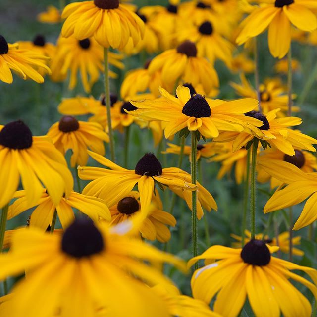 In case you were wondering what it would be like to be lost in a sea of Black-Eyed Susans.... maybe like this?? I grow hundreds- if not thousands of these just for me. Not for market, not for weddings, just me. It's my fall time happy flower. 🤷‍♀️#moveoversunflowerrudbeckiaisinthehouse . . . 📸 credit @rockingseaphotography . . . #flowerfarmer #flowerfarming #rudbeckia #seaofflowers #mccallidaho #idahome #farmerflorist #backcountry #knowyourfarmer #fallflowers #flowersofinstagram #idahofarmer #farmersmarket