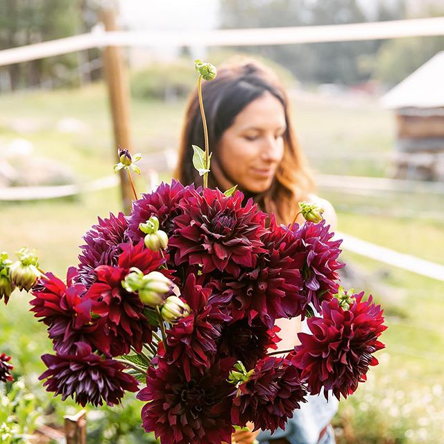 It's 40 degrees here this morning... and still dark at 7 AM.... Officially fall!! Time for longer coffee hours and fall time colors. Check out these beauties! Harvesting these for a wedding this weekend... could they be more lucky! #lovethatigrowflowers . . . 📷 @cimbalik.photography . . . #flowerfarmer #flowerfarming #farmerflorist #localflowers #slowflowers #dahlias #idahoweddings #idahobrides #mccallweddingflorist #weddingflorist #idahome #backcountry #knowyourfarmer #mccallfarmersmarket #idaho