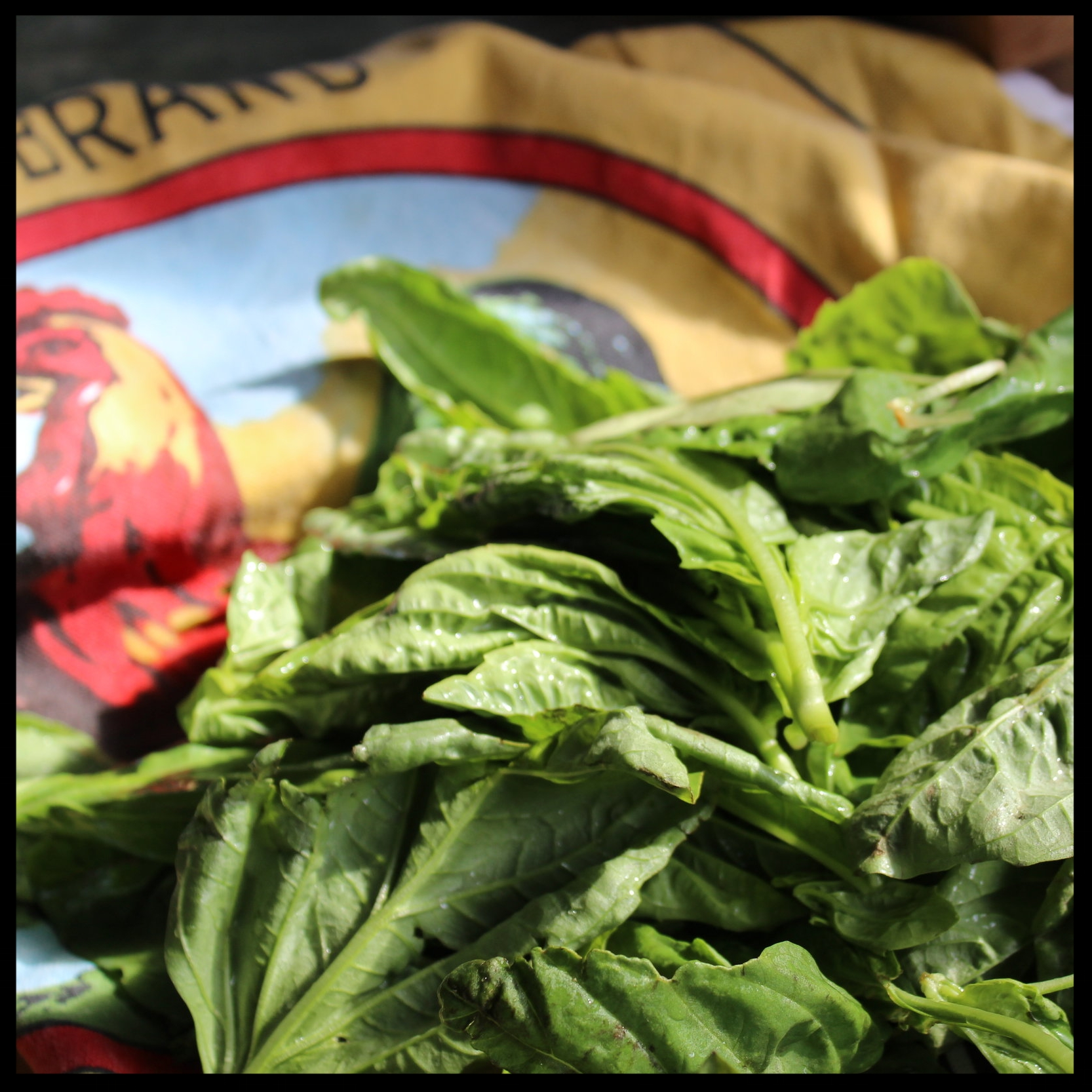 5. Put your basil in a colander and gently rinse.  6. Lay it out on a towel, roll up and gently pat dry.  TIP: If the stems are woody, cut them off. Otherwise you can include the soft, bendable thinner stems in your pesto. They add tons of flavor.