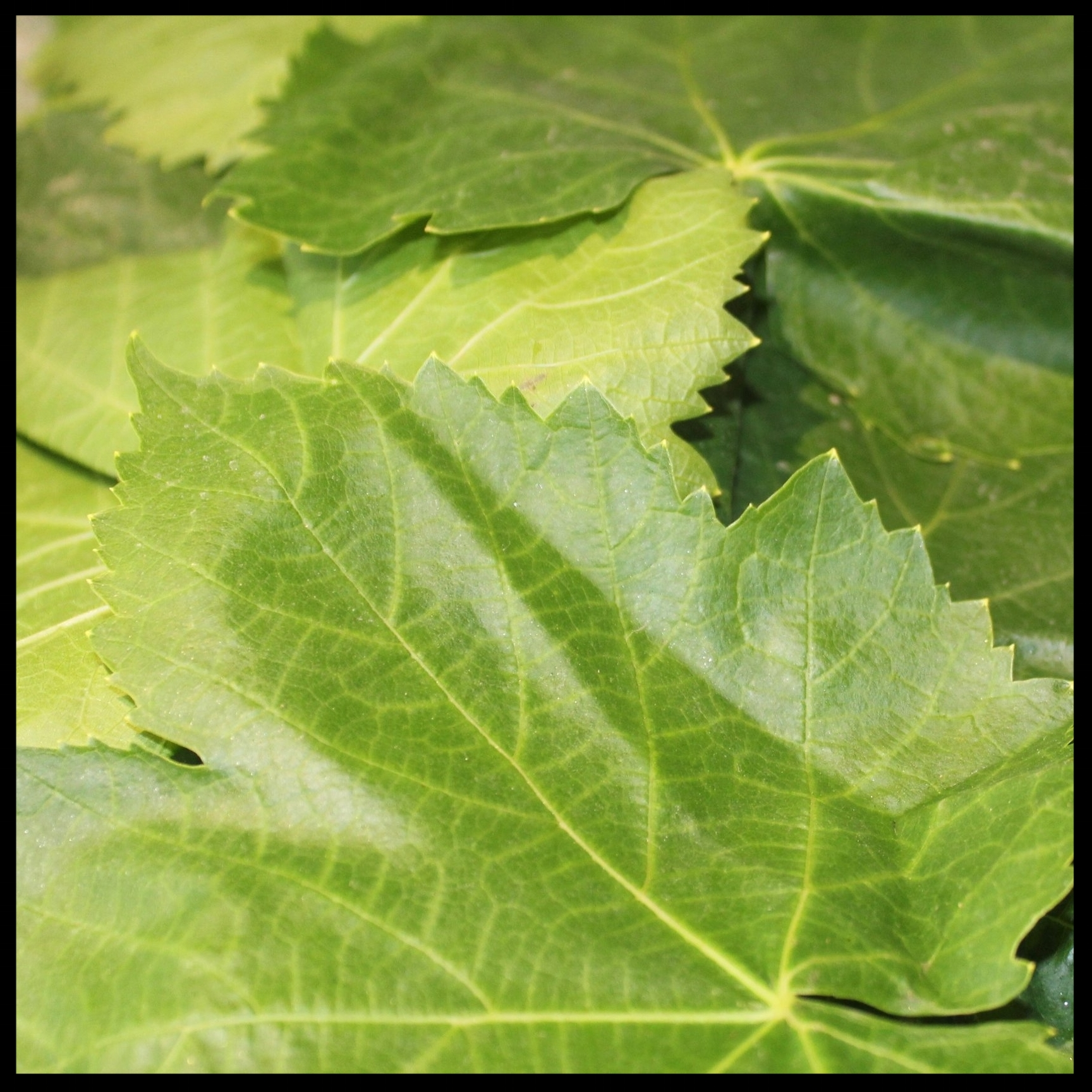 FIRST, A FEW WORDS ABOUT GRAPE LEAVES   For this recipe, I used fresh grape leaves, but you can use jarred leaves as well. To prepare them, rinse well in a colander and set out to dry on paper or cloth towels, being careful to separate them without tearing.