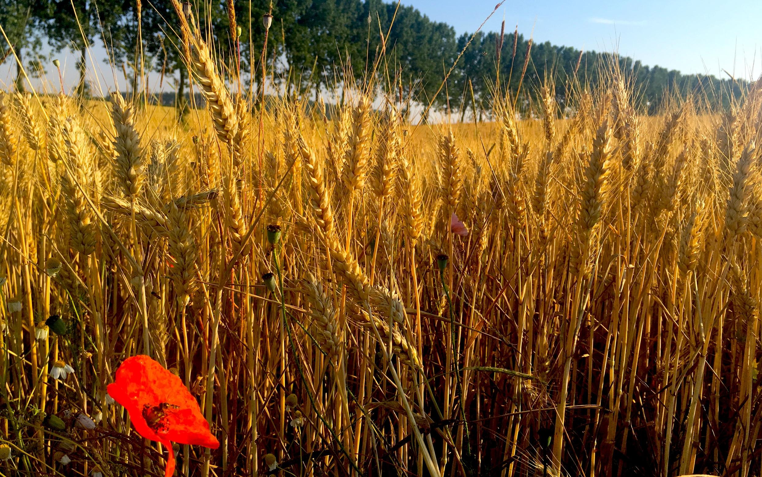 Poppy in field.jpg