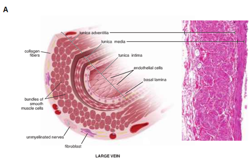 Large Vein Cross Section.png