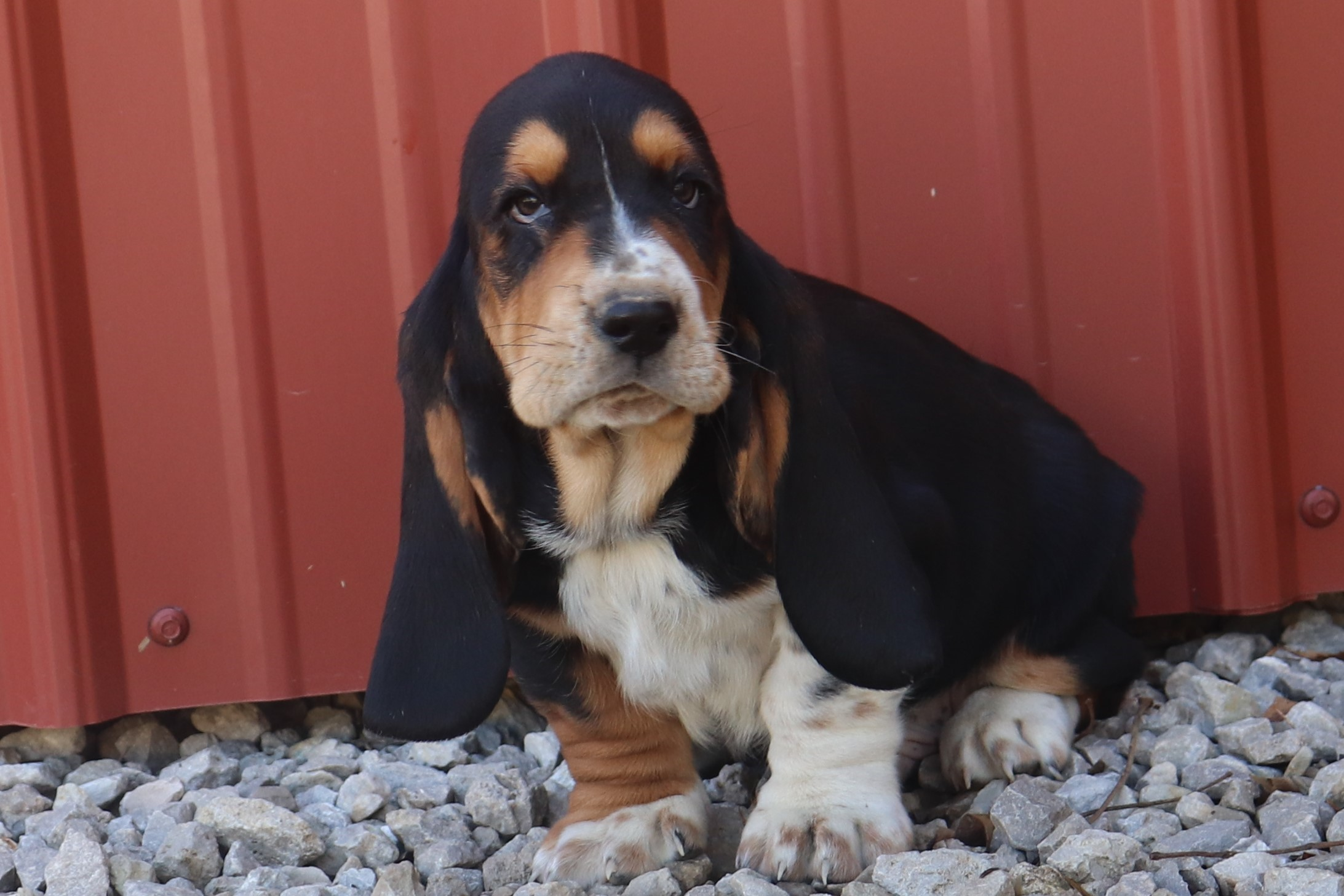 Basset Hound Puppies for sale in Missouri — Long Range Ranch Corgi