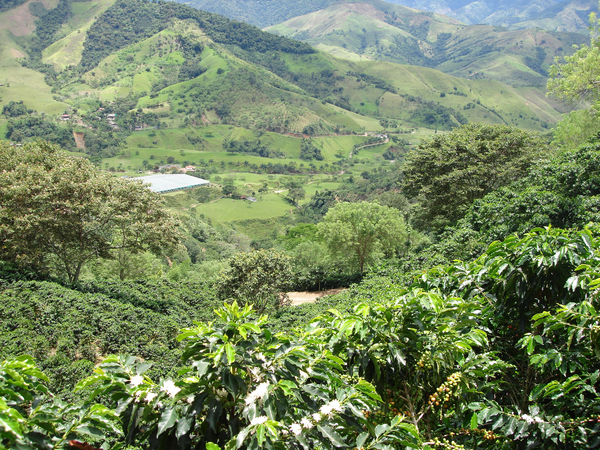 Our coffee plantations