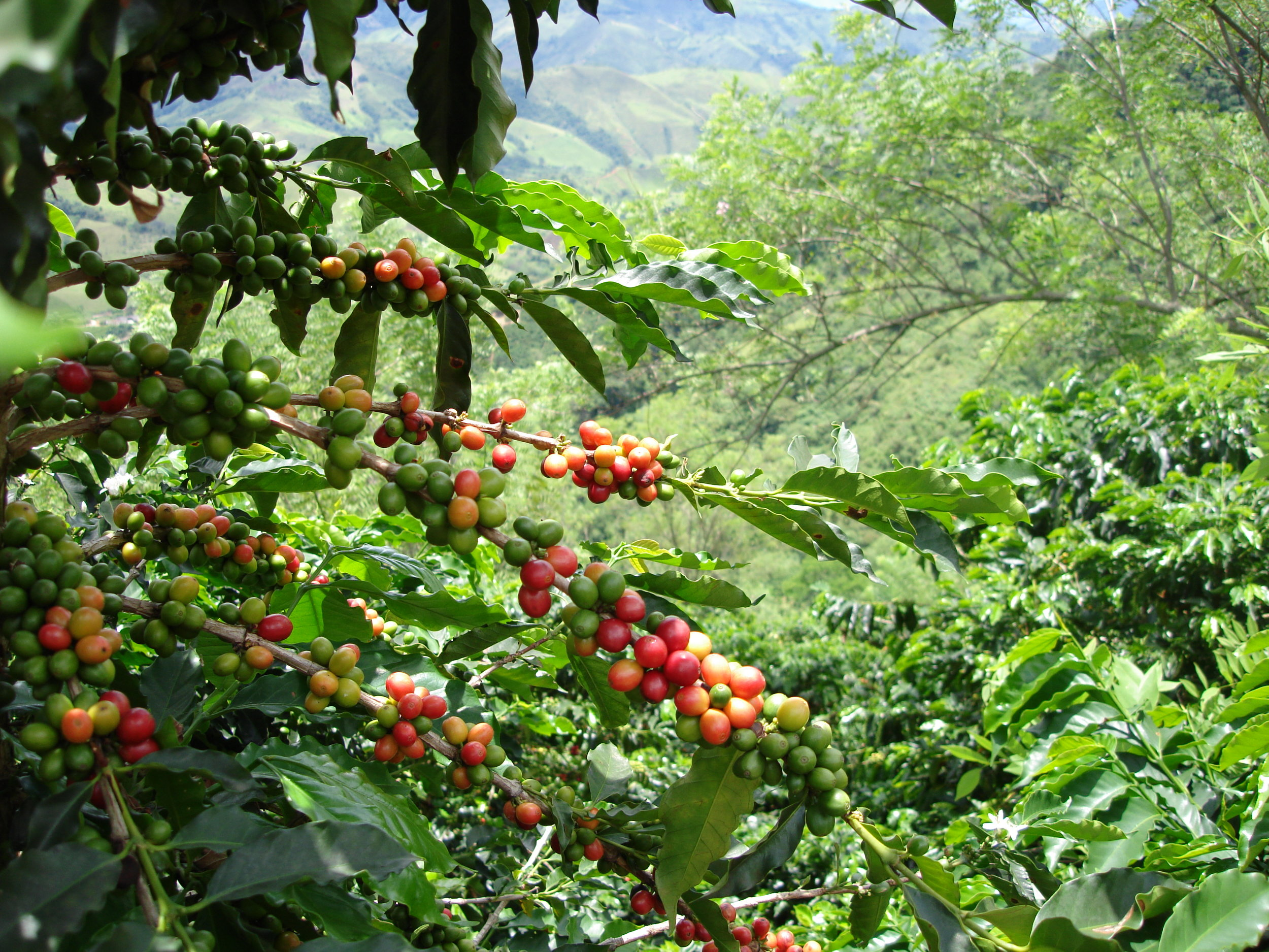 coffee_plantation_colombia-622.jpg