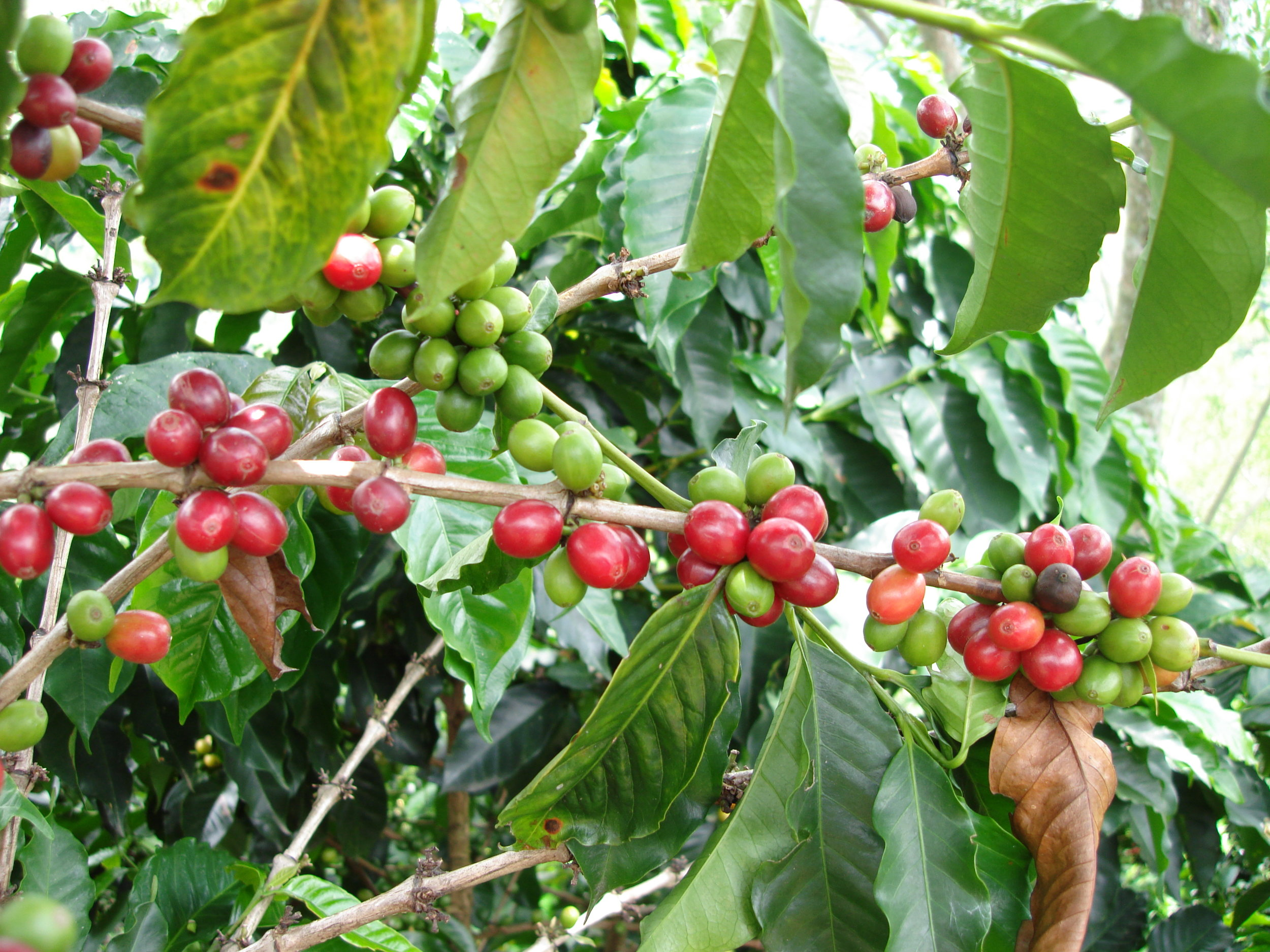 coffee_plantation_colombia-624.jpg