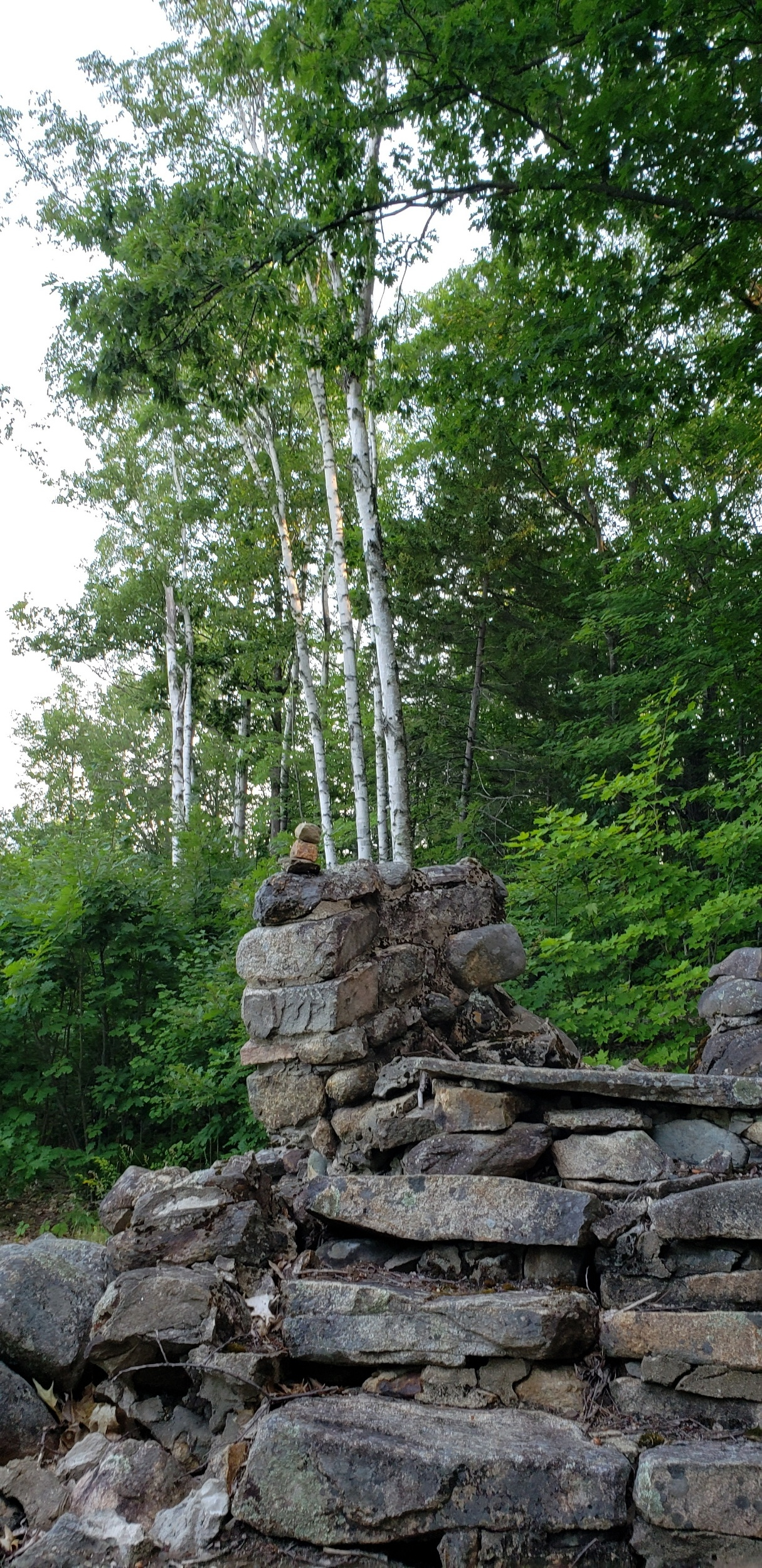 Forest with three tall white birch trees in the front of other green foliage. In the foreground of the picture are stones arranged into a rough staircase.