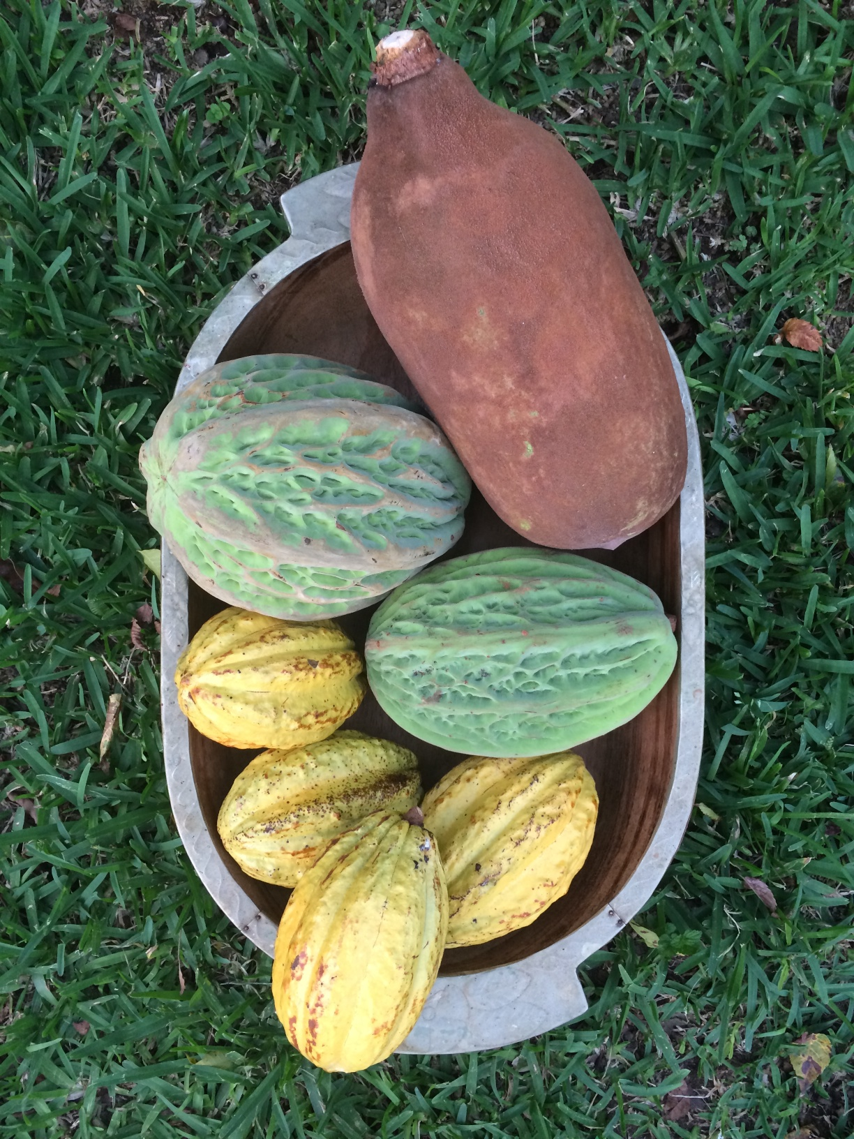 Image from  Izabal Agro Forest . Three kinds of Theobroma. T. grandiflorum (Cupuacu), T. bicolor, and T. cacao (Chocolate).