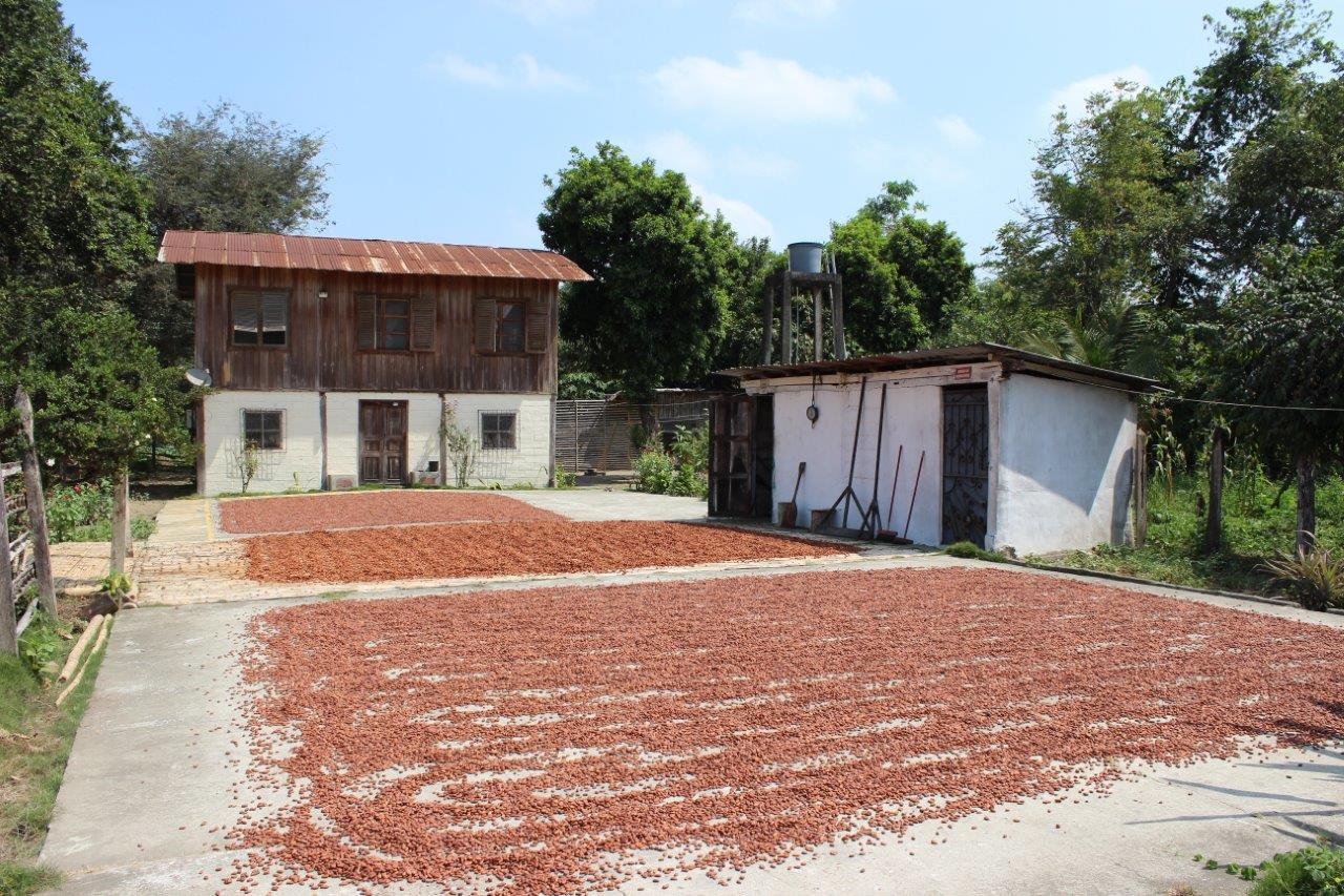 Sun Dried Cacao.
