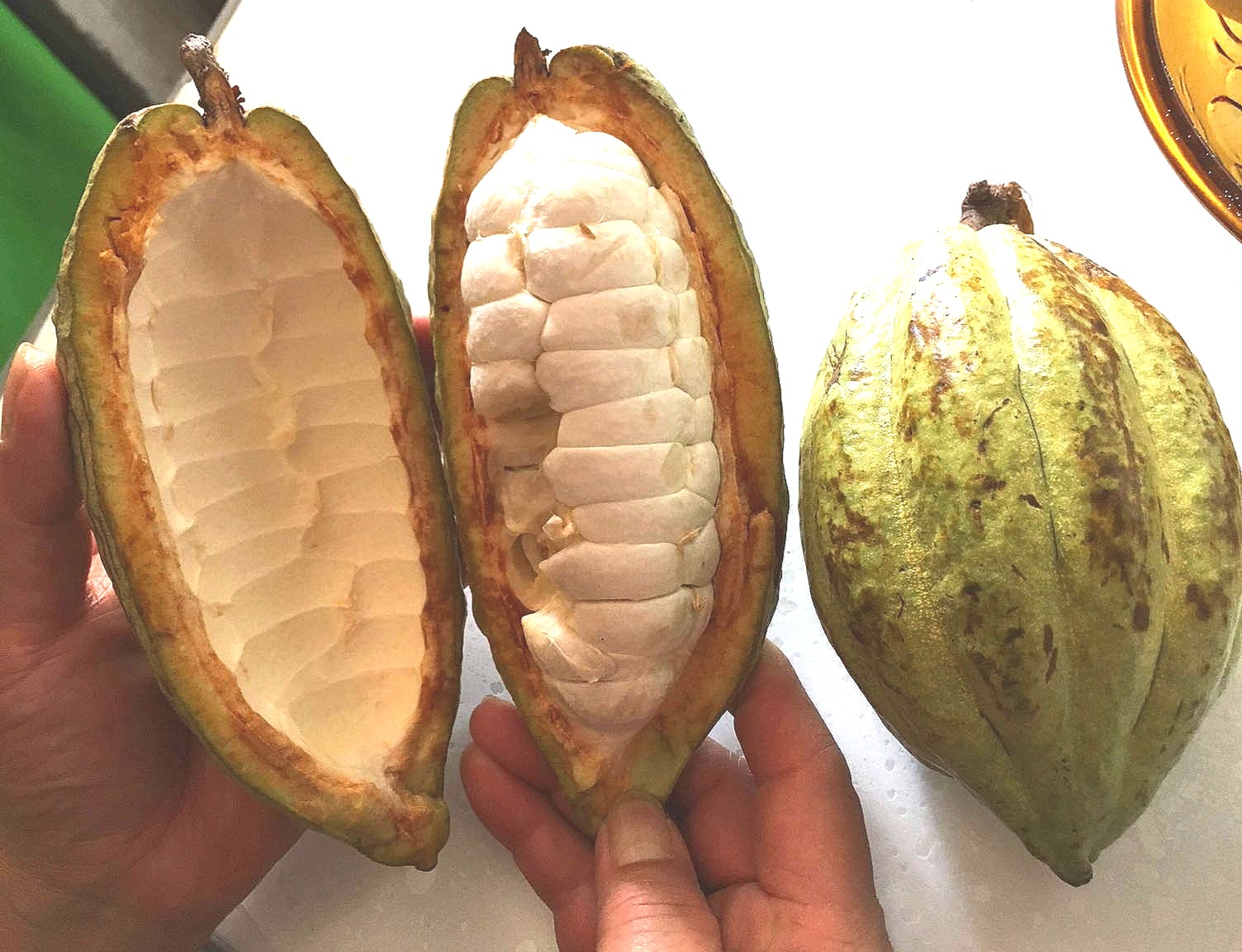 The white pulp is the fruit of the cacao tree, contained within the pod. You can see segments of this pulp here. Each segment of fruit also contains a cocoa bean. Image credit: Geoseph Domenichiello