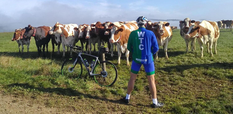 Daarna verplaatst de interesse van de koeien naar iets anders.