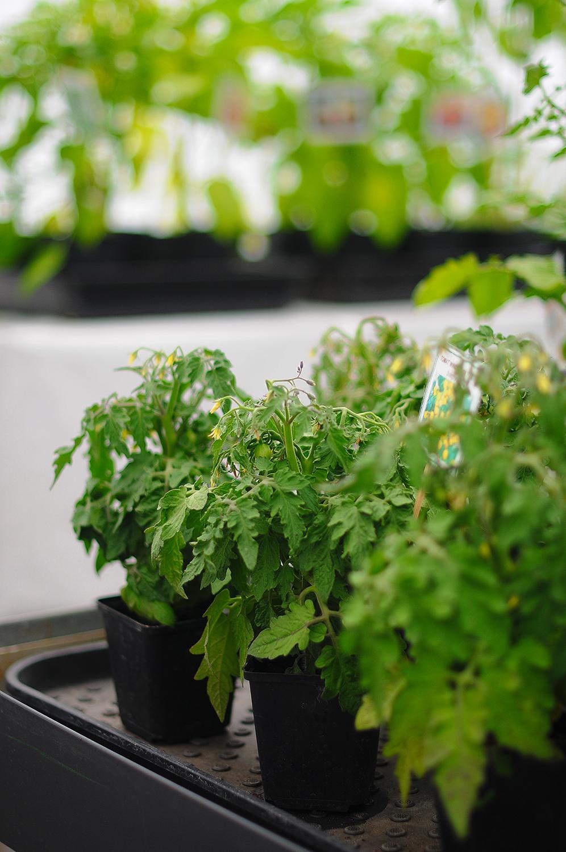 Minitomat planta / kruktomat