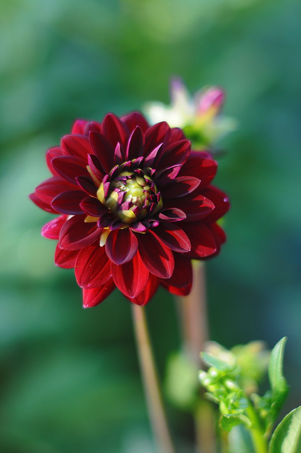 "Dahlia ""Arabian Night"""