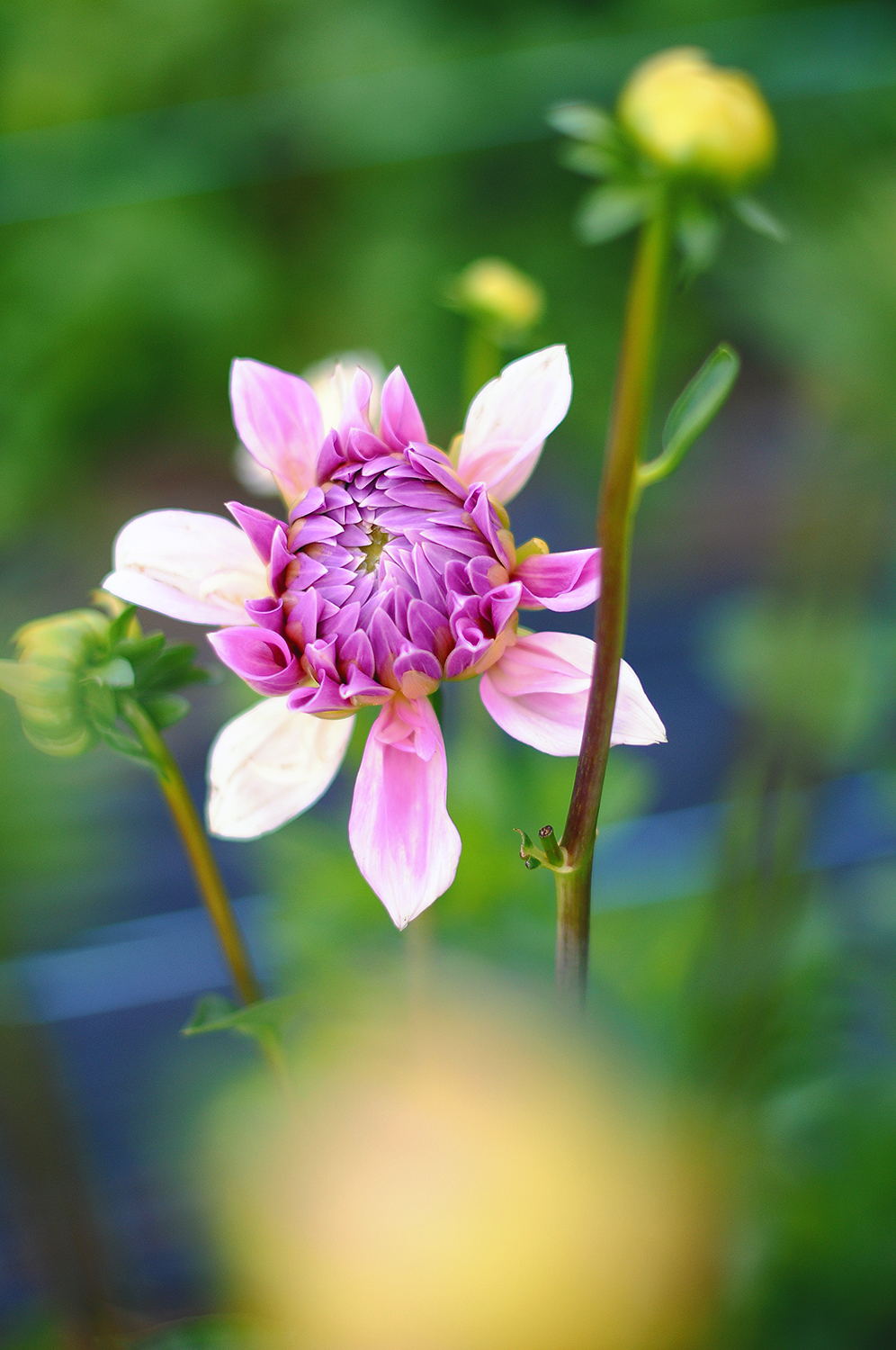 "Dahlia ""Lavender perfection"""