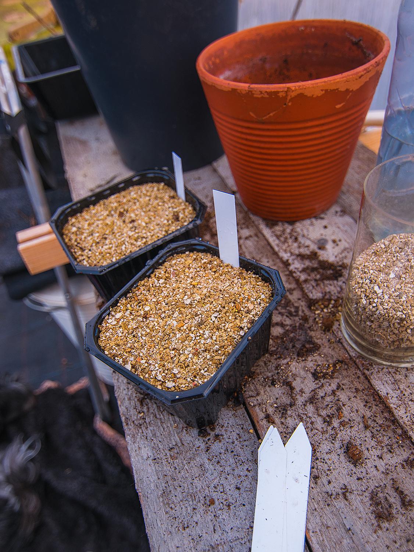 Tips för sådd av ljusgroende frön - Fyll brätten, krukor eller pluggar med jord. Jag använder egenblandad såjord men köpt såjord eller planteringsjord funkar bra allihop. Toppa med ett lager vermikulit (det är ett mjukt, vulkaniskt material som håller fukt väldigt bra (passar jättebra vid sådd av ljusgroende fröer, då ytan annars lätt torkar ut!)Fukta ytan/vermikuliten försiktigt och vattna så hela krukan/brättet är väl fuktat. Lägg fröerna försiktigt på ytan, de ska inte täckas, de ska ligga helt ytligt.Vattna försiktigt igen och använd gärna en slags duschstril som gör att vattenstrålen inte blir så hård att den rör omkring fröerna. Ställ sedan sådden på den plats där de vill gro (optimal temperatur & plats står ofta på fröpåsen)Man kan lägga en bit plast över sådden så att den inte torkar ut. Vattna och låt inte sådden torka ut.
