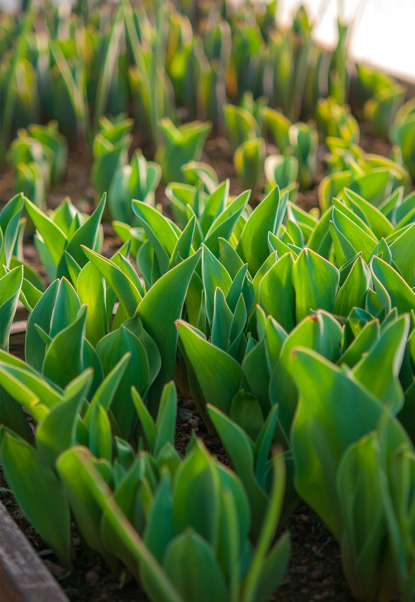 (Snart!) är våra egenodlade tulpaner redo för skörd