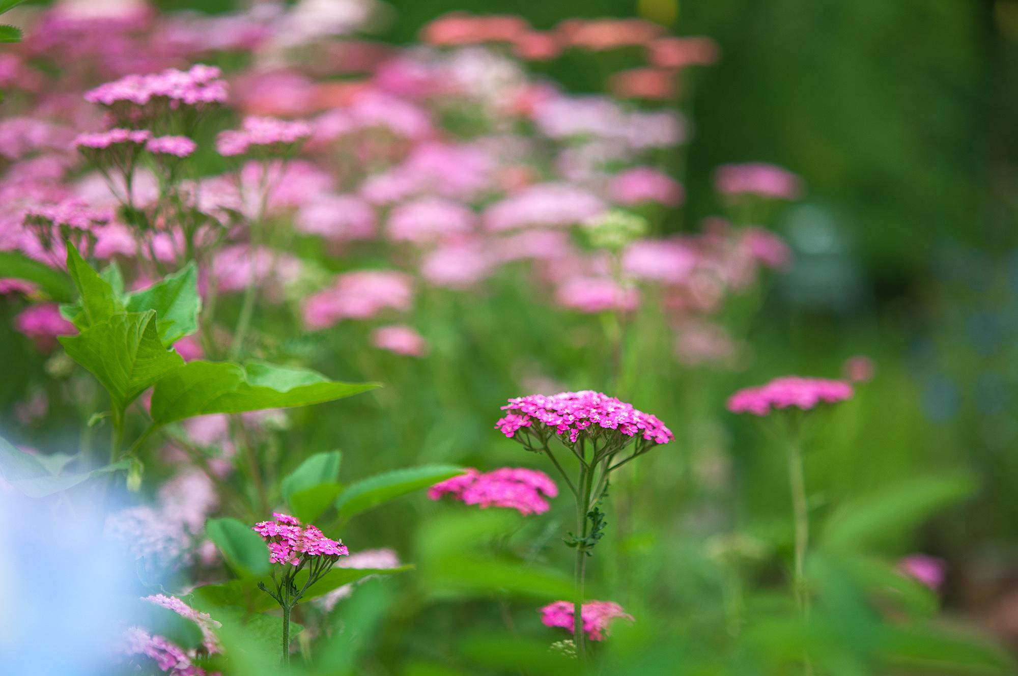 Rölleka, Achillea millefolium, finns i många olika rosa nyanser