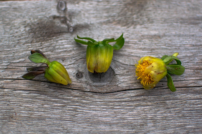 Såhär ser olika överblommade dahlior ut och dessa bör plockas bort för fortsatt blomning på plantan