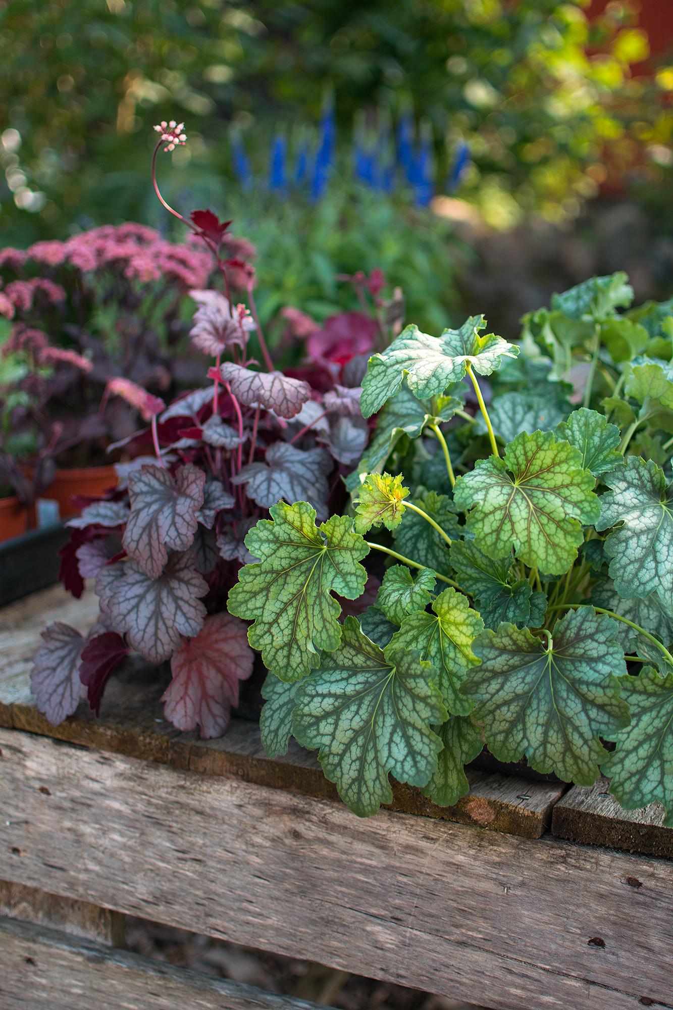 Nya plantor till salu, bland annat många olika sorters alunrot