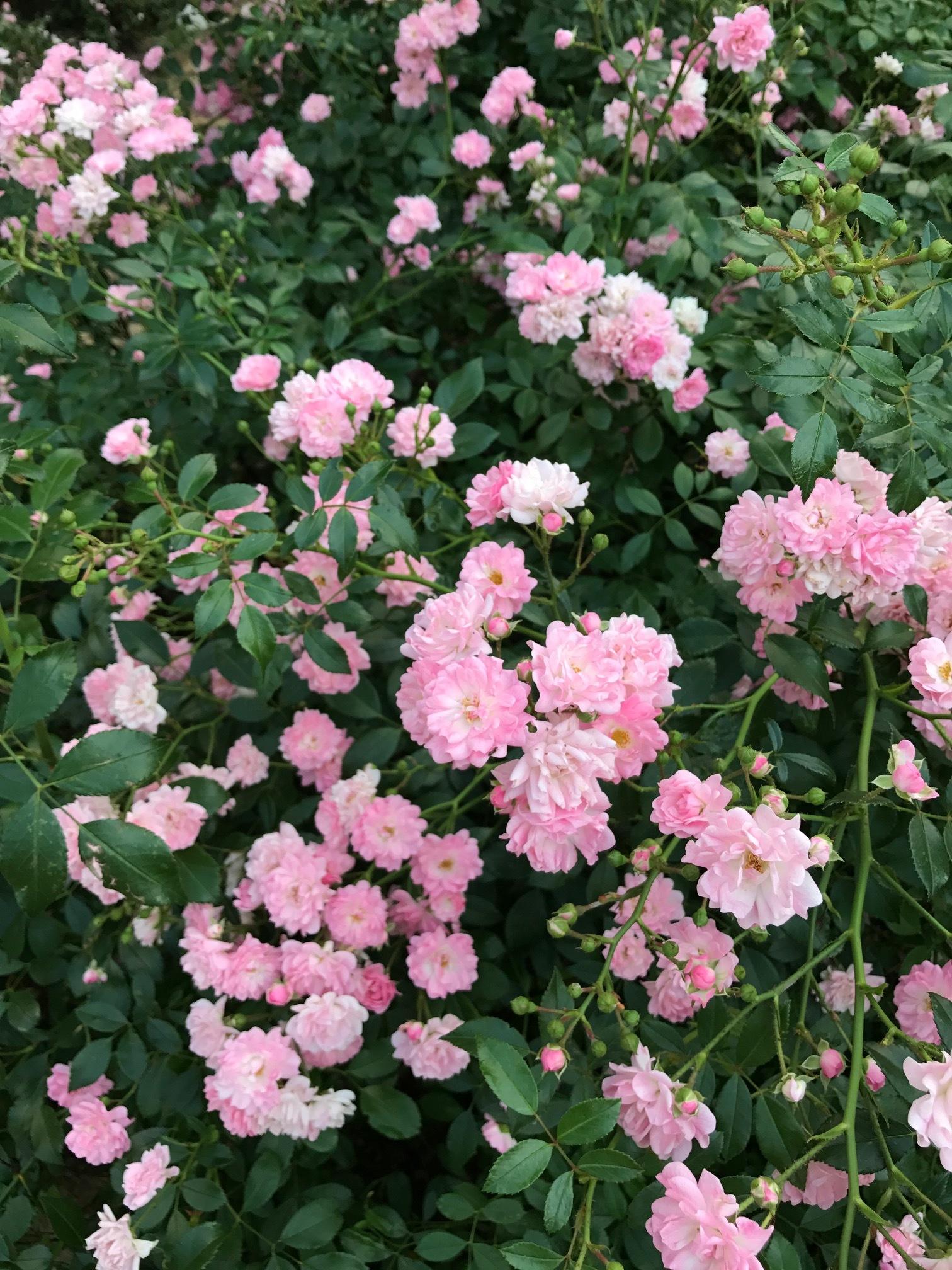 Ruusut2.JPG