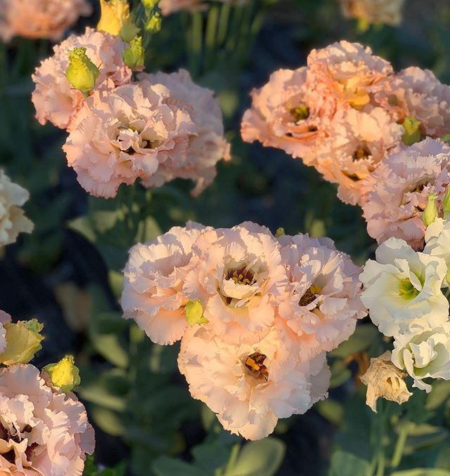 Last few weeks of lisianthus and dahlias starting to show their pretty colors.  #seasonalflowers #localflowers #lisianthus #summerflowers #flowerfarmer #weddingflowers #dahlia
