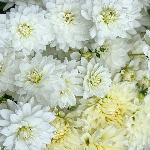 A bucket of dahlia whites - Karma Serena and Fleurel #flowerfarmer #dahliaseason