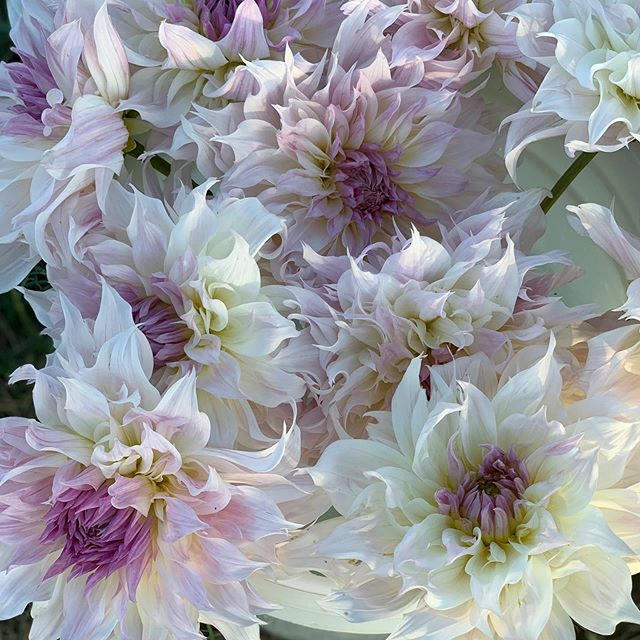 Early pick for best blooming dahlia goes to this beauty, Shiloh Noelle #dahliaseason #localflowers