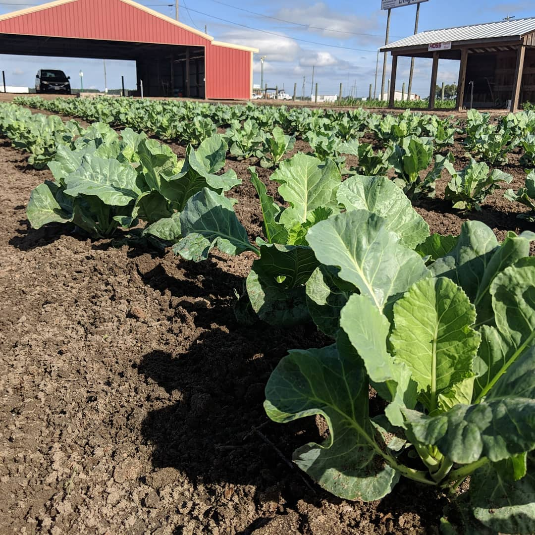 Fresh Collard Greens growing at Sun Belt Ag Expo's Hoss Tools Demonstration Market Garden