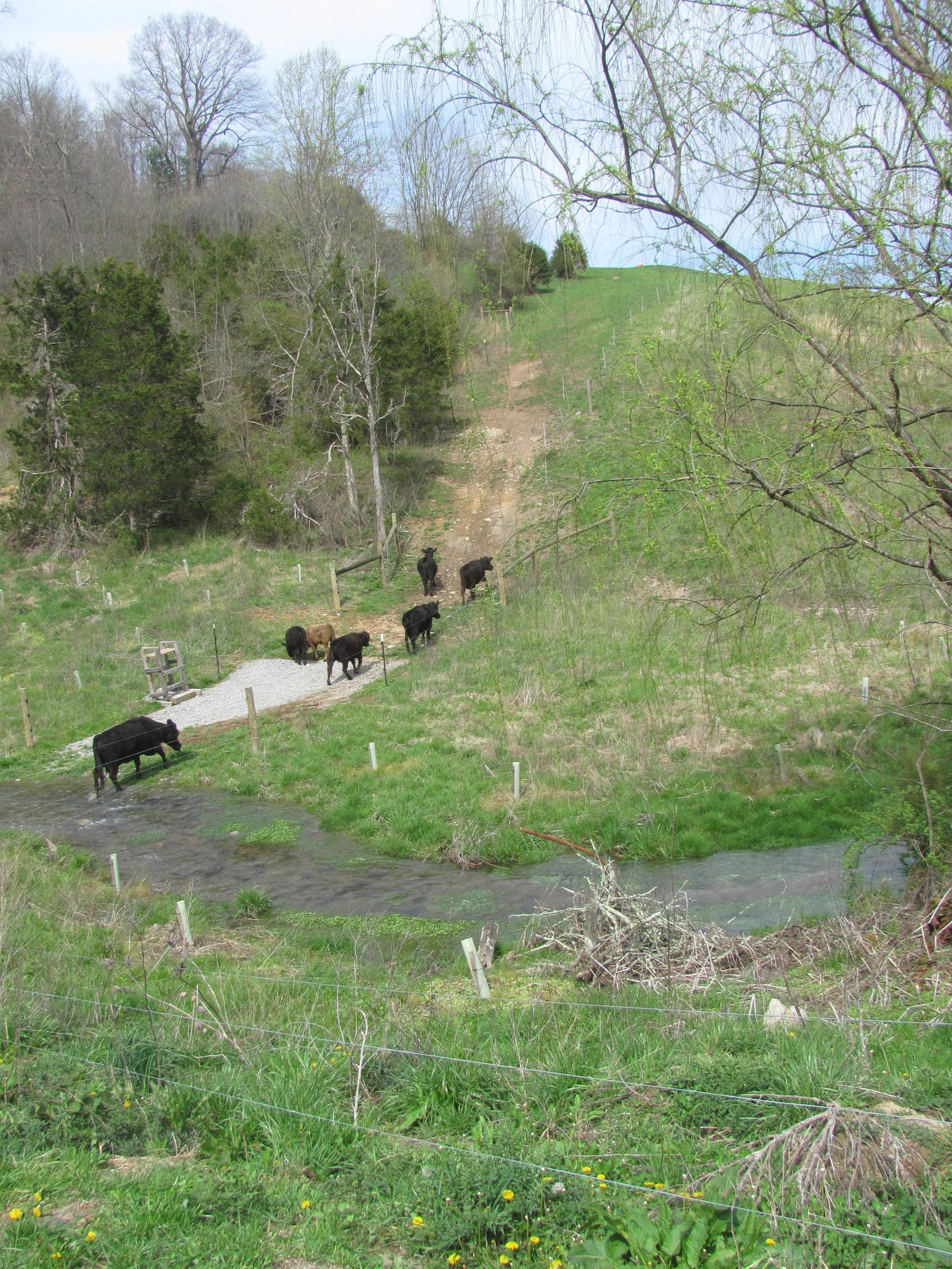 moving cows2.JPG