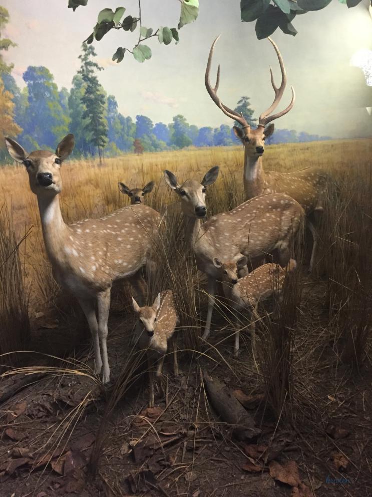 Museum of Natural History_Deer_K.Martinelli Blog_Kristen Martinelli.png