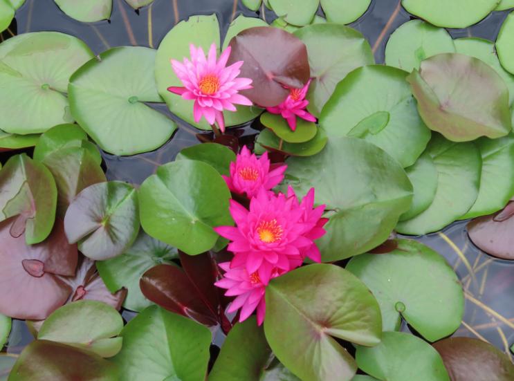 Atlanta Botanical Garden_Atlanta Georgia_Pink Lotus_K. Martinelli Blog _ Kristen Martinelli.png