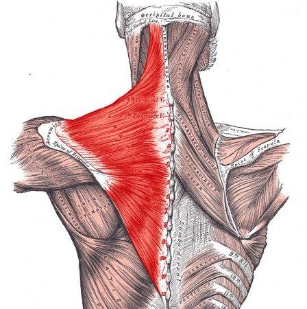 3979379e256434b6505e1e25072652f6--trigger-point-therapy-human-anatomy.jpg