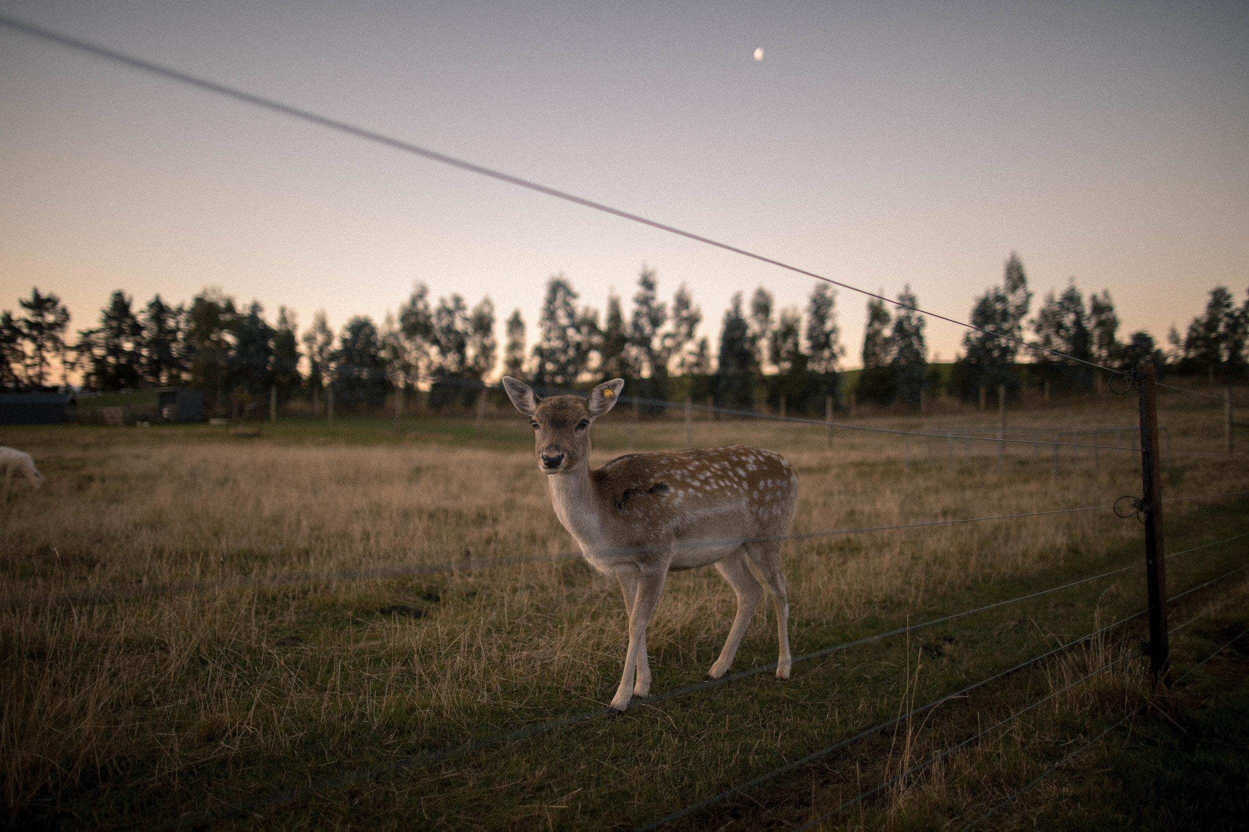 phoebe-the-deer.jpg