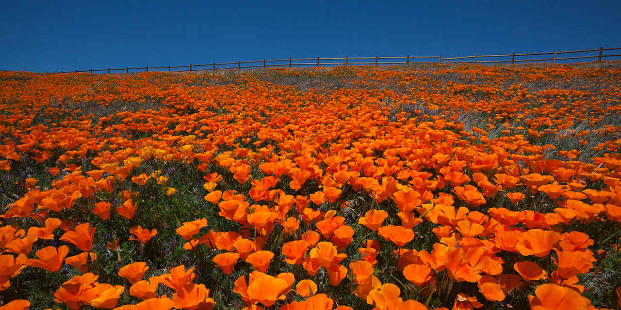 PEAK: ANTELOPE VALLEY CALIFORNIA POPPY RESERVE - DIFFICULTY: 3/5SCENERY: Wildflowers, wildflowers, and more wildflowers :)FUN FACT: The California Poppy became the California State Flower in 1903 and the Antelope Valley Preserve is the best place to see it! Check it out: here