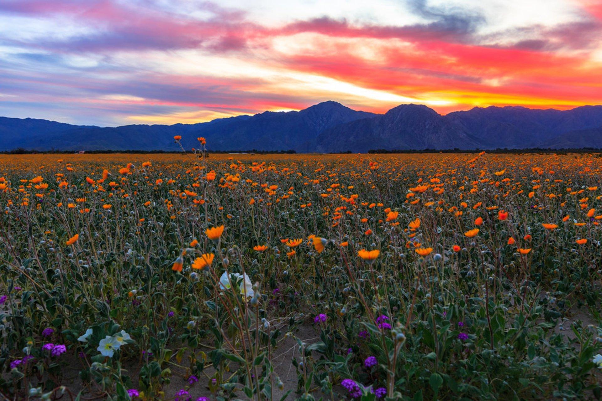 california-anza-borrego-desert-super-bloom.jpg