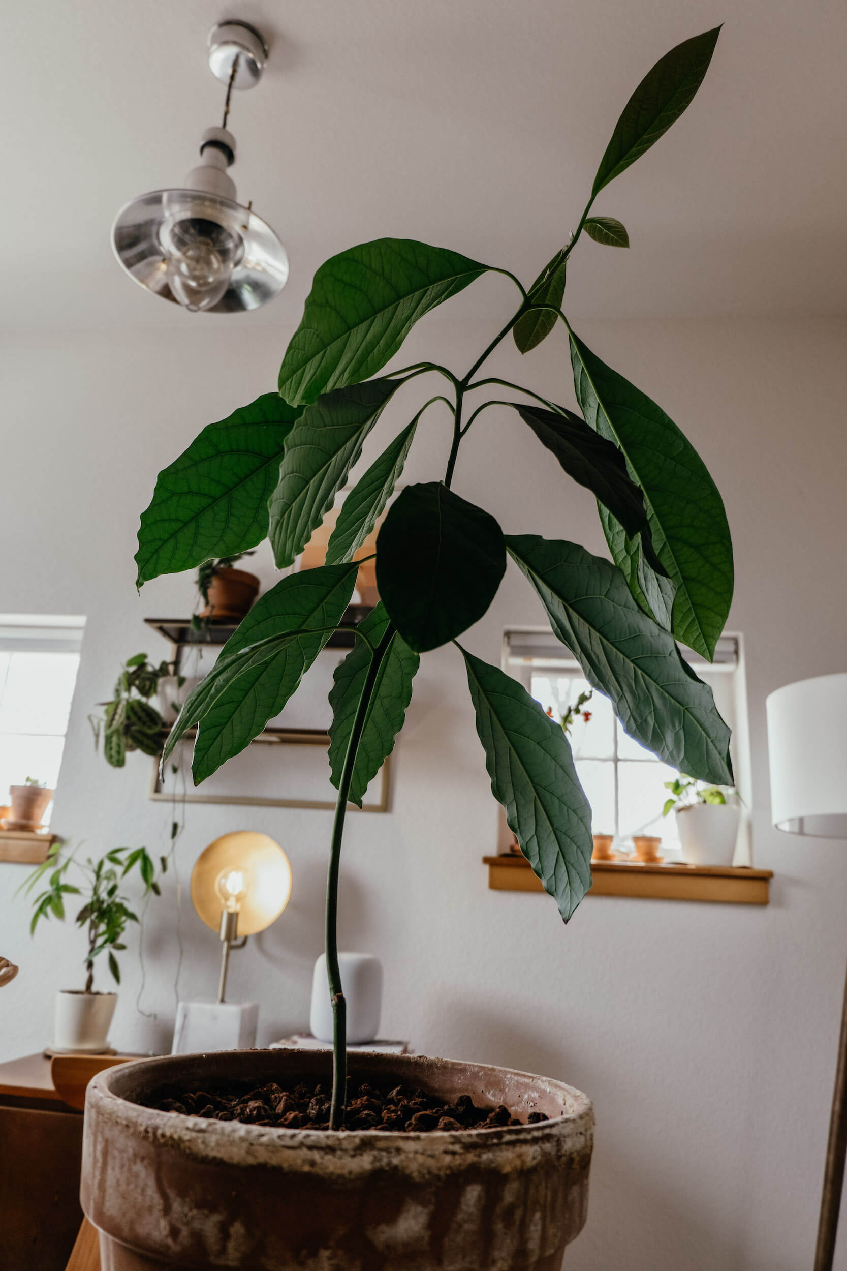 Growing an avocado tree from a seed