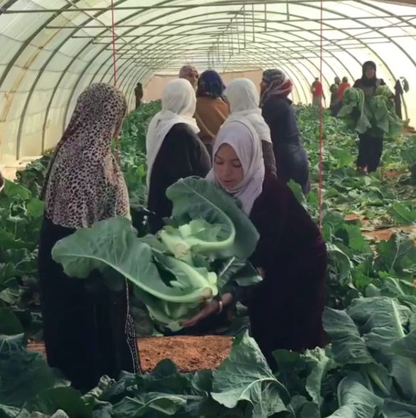 The female farmers of Zaatari reap the cauliflowers they have grown for the local market - double click to see video