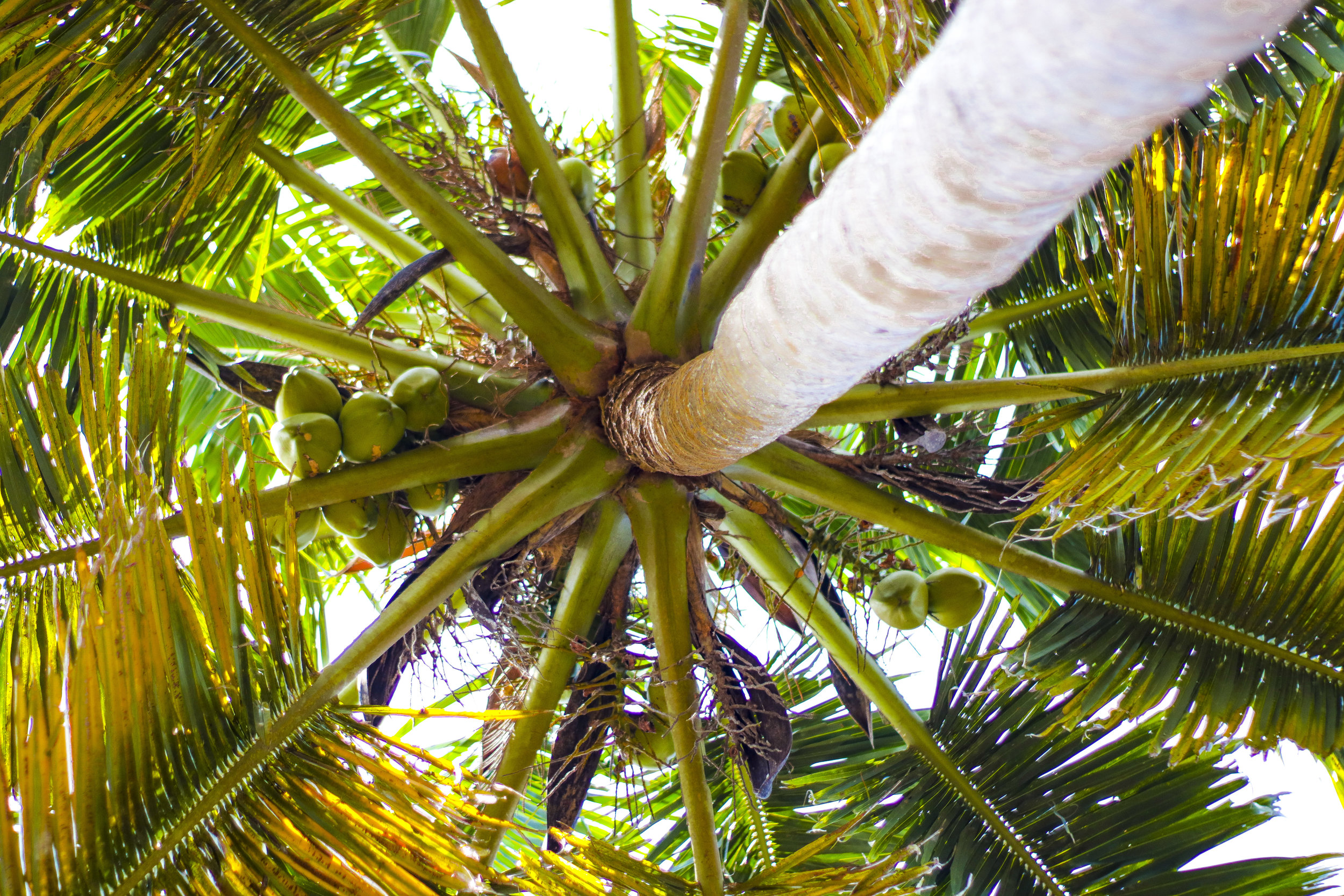 Palm trees are amazing sources of health and well-being.