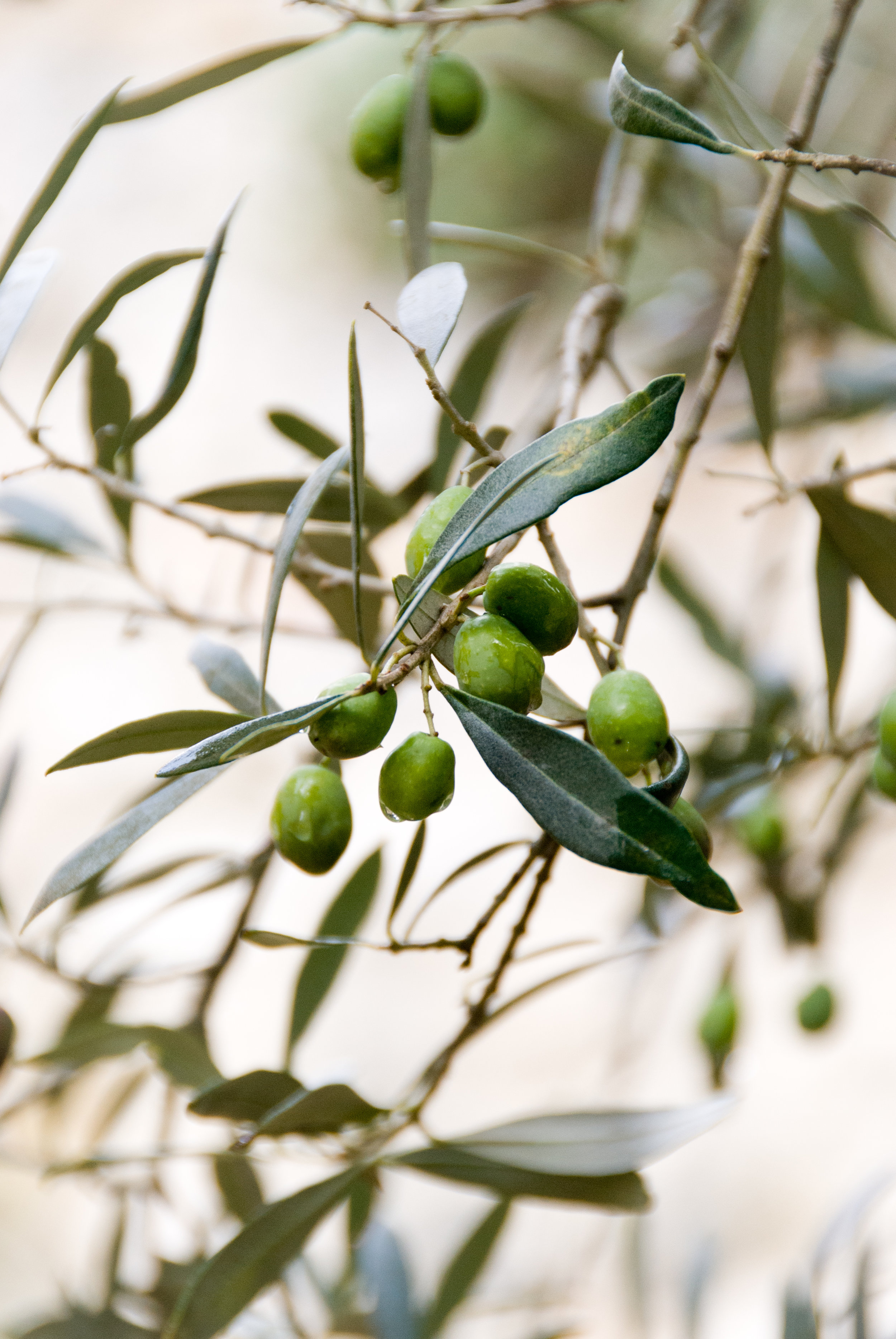 Olives growing on the tree. Their nutrient-rich oil has been the basis of beauty treatments for centuries.