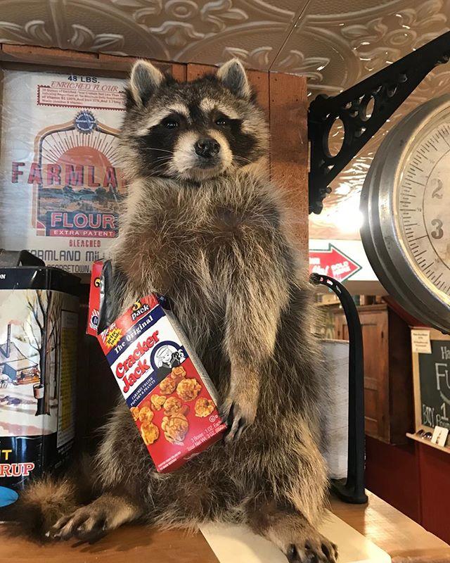 This classy raccoon only eats Cracker Jack from the top shelf.  #nostalgia #crackerjack #raccoon #stowemerchantile #vermont #taxidermy