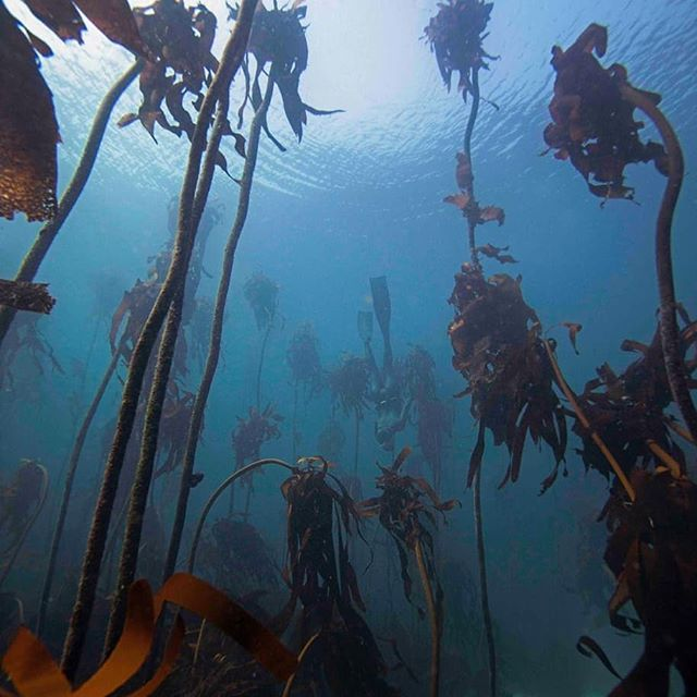 June is World Oceans Month! As if we needed another excuse to celebrate our Oceans 💙 But take a deep breath...no, take 3 deep breaths...and remember that 2 of those life-giving lungfuls come from the plants in our oceans, like the microscopic phytoplankton that sometimes colour our seas - and these glorious submarine forests of kelp 🍃🌿💦