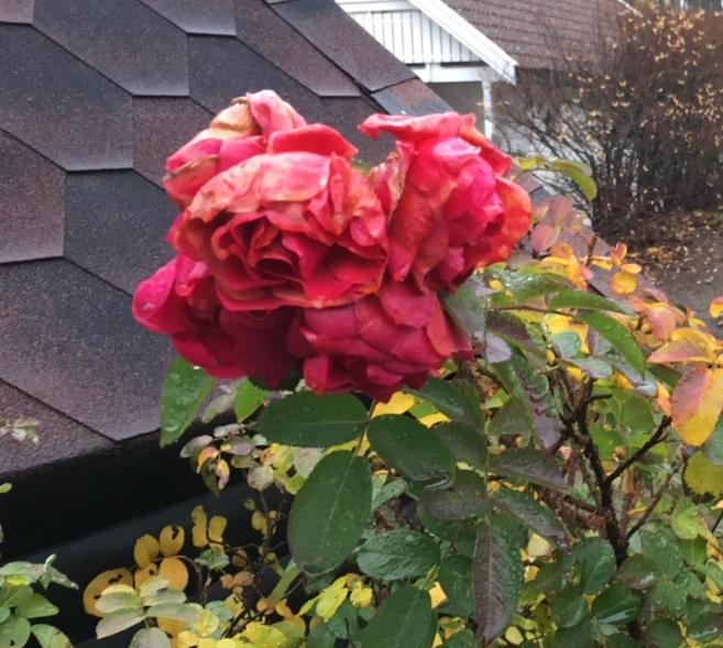 Roser på Jeløy