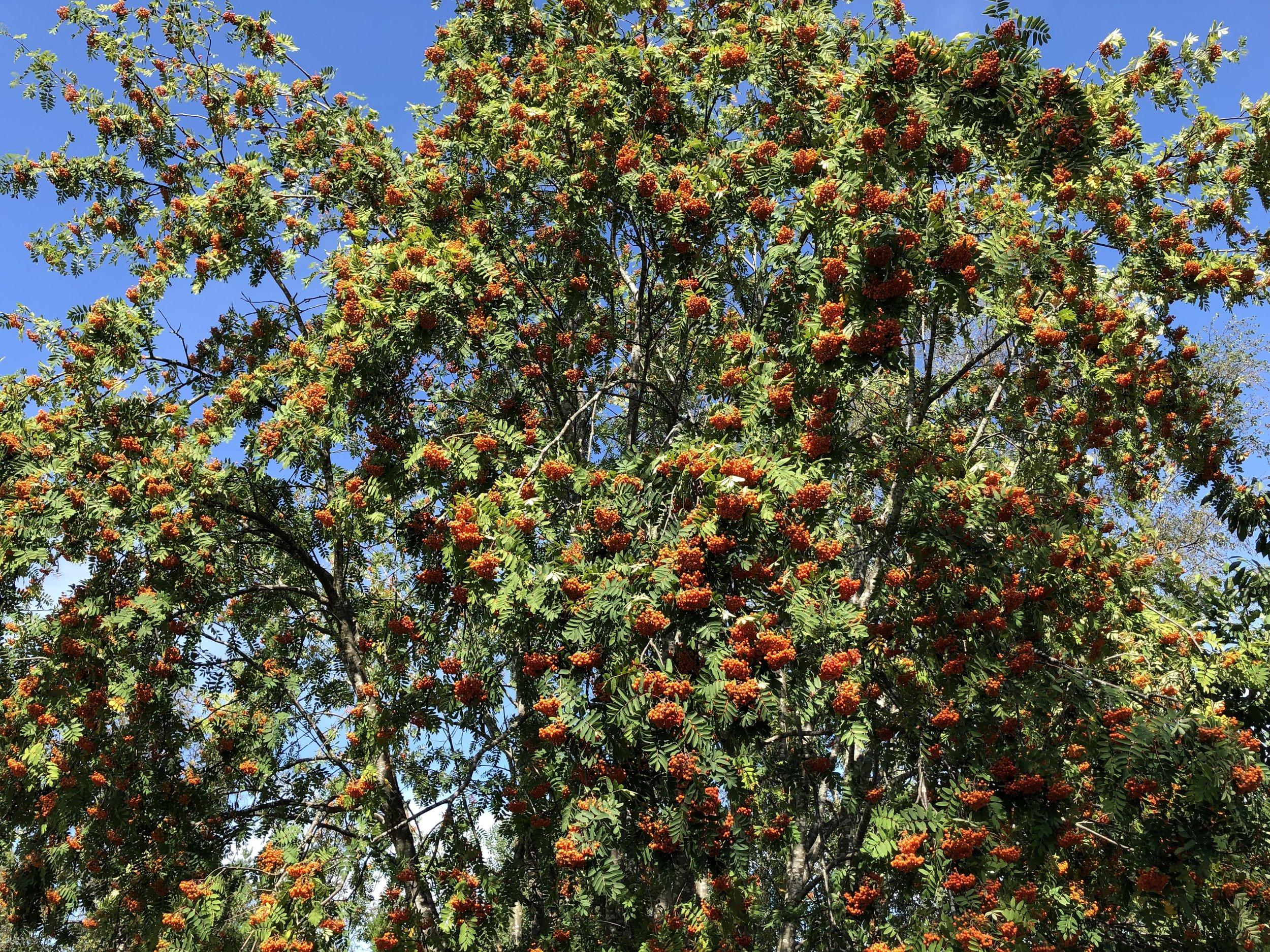 Kronår for alle vekster i år, kanskje med unntak for epler? Rogna henger tungt for tiden